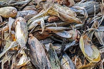 Pile of dry corn cobs.