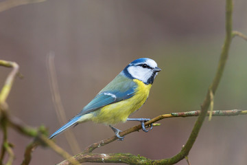 Printed roller blinds Bird Blue tit sitting on a tree branch