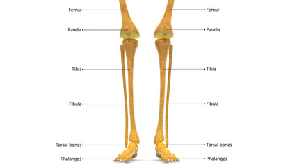 Human Skeleton Leg joints Anatomy (Femur, Fibula and Tibia)