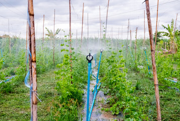 Automatic sprinkler spread system on bitter gourd