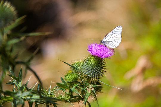 Farfalla su cardo
