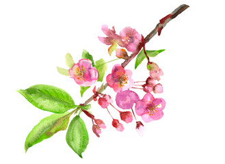 Spring blossom (bloom), branch with pink flowers, leaves, buds, petals, hand draw watercolor painting on white background, decorative illustration, vintage