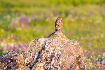 Ein Steinkauz in der Extremadura