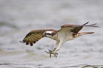 Fischadler beim Jagen in Mecklenburg
