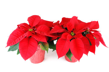 fresh Christmas poinsettia isolated on white background