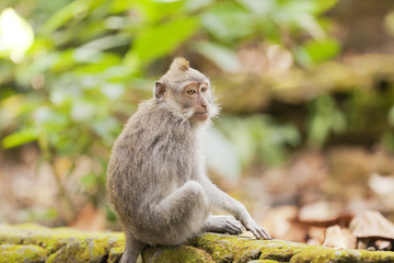 Monkey sitting on a wall in a forest in Indonesia