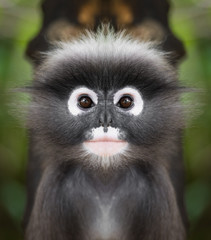 Foto op Aluminium Aap Dusky leaf monkey face close up