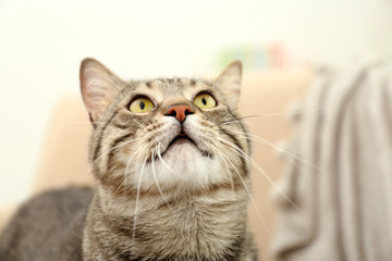 Portrait of grey tabby cat on blurred background