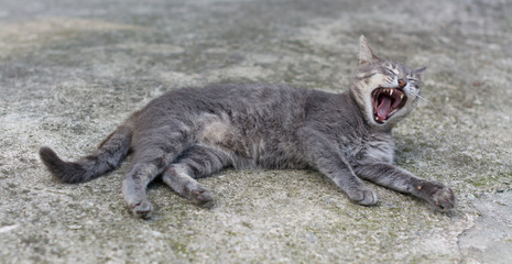 Cat yawns lying in the street