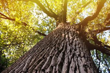 Old big tree in park Fototapete