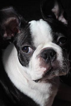 Artistic Boston Terrier Dog Puppy Close Up French Bulldog Portrait