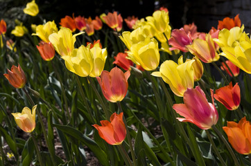Spring flower background. Bright sun lighted red and yellow tulips in a garden