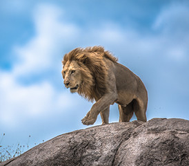 Male Lion making his move on rocky outcrop, Serengeti, Tanzania, Africa