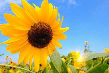 Selective and Soft focus. Sunflowers field and blue sky with lighting flare effect.