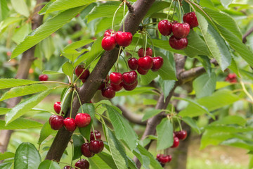 cherry tree branch with ripe red cherries