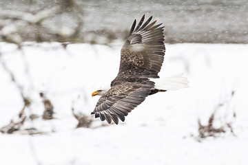Wild American Bald Eagle in flight over the snow in Washington S