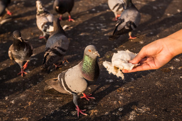 Woman hand give a bread to dove in Park.