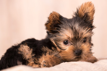 Beautiful puppy Yorkshire Terrier posing