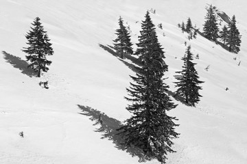 Black and white picture pines on mountainside