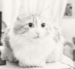 Adult cat in black and white