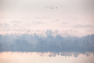 Beautiful autumn foggy morning. Aerial view, flock of swans flying. Wall mural