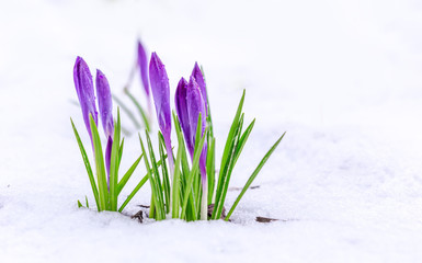 Spring first flowers. Beautiful violet crocuses in the snow.