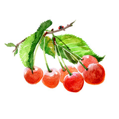 Watercolor cherry branch with cherries isolated on a white background illustration.
