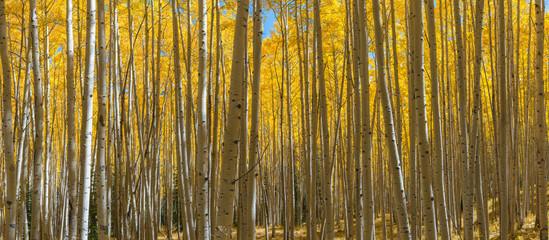 Colorado aspen trees panorama in autumn  Wall mural