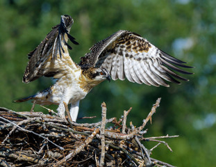 Osprey Chick with Open Wings