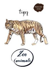 Staying striped tiger
