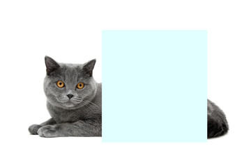 gray cat with yellow eyes lying behind a banner on a white backg