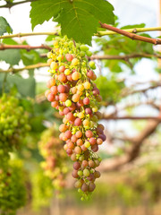 Wine grapes in vineyard on a sunny day, select focus
