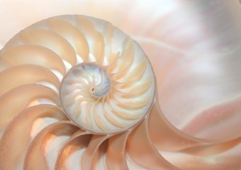 nautilus shell spiral section symmetry cross section spiral half fibonacci golden ratio structure growth close up ( pompilius nautilus )stock, photo, photograph, picture, image,  Wall mural