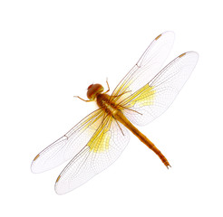 dragonfly isolated in white background
