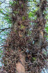 Wild acacia tree thorns. Thorny trunk close up with blue sky