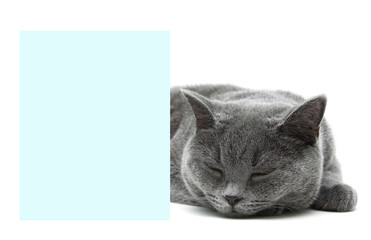 cat sleeps behind a banner on a white background