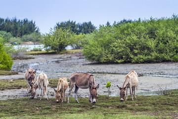 Wall Mural - Mannar donkey in Kalpitiya, Sri Lanka