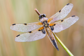 Four spotted chaser (dragonfly) with dew drops and equal background.