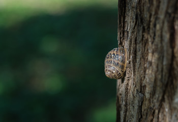 Profile of a dry roman snail shell helix pomatia on the trunk of a tree