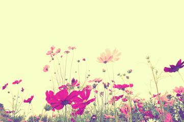 Soft focus colorful cosmos flower ,vintage pastel background