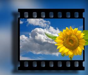 Diapositiv, Ökologie, Umwelt, Sonnenblume