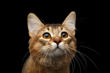 Close-up Portrait of pedigree orange Somali kitty on isolated black background