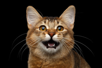 Close-up Portrait of meowing orange Somali kitty looking in camera on isolated black background