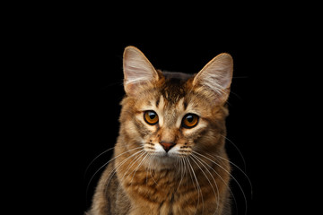 Close-up Portrait of pityful orange Somali kitty looking in camera on isolated black background