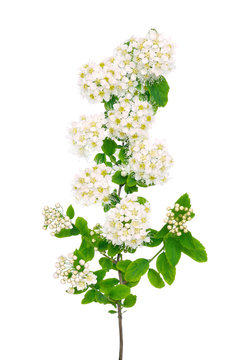 The branch of spiraea