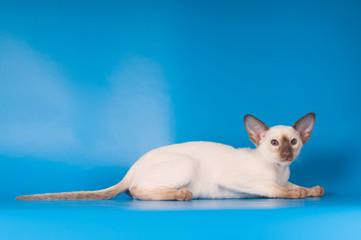 Siam kitten portrait on blue background