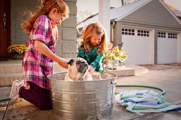 Two young sisters wash their pug in a bucket. Dog is shaking water on girls.
