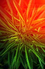 marijuana . cannabis drug at sunset.