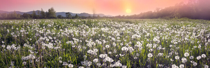 Dandelions at sunrise