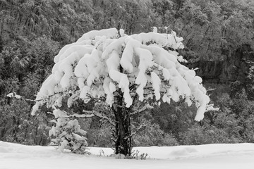 Wild apple tree covered with snow on a mountain slope in the background of the winter forest closeup. Black and white photo